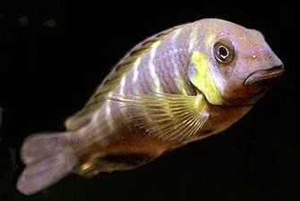 Tropheus Moori Canary Cheek 3 a 4 cm (NOVIDADE)