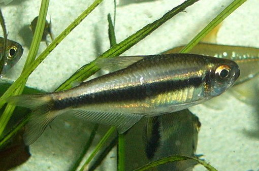 *Tetra Moenkhausia Phaenota 2 a 3 cm