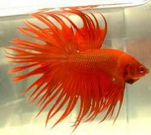 Betta Crowntail 4 a 5 cm