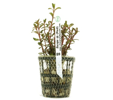 Planta Bacopa sp. Red