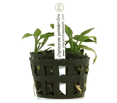 Planta Cryptocoryne Pontederiifolia