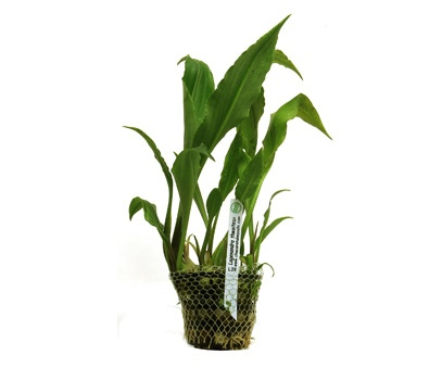 Planta Lagenandra Thwaitessi