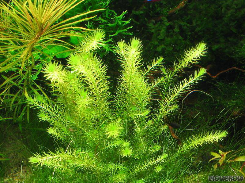 Planta Mayaca Fluviatilis