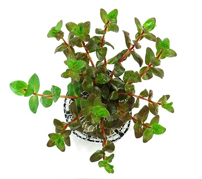 Planta Rotala Sp. Butterfly