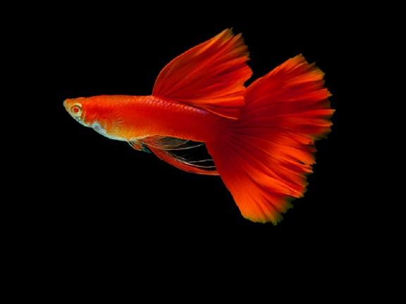 Lebiste - Guppy Full Red ( Casal )