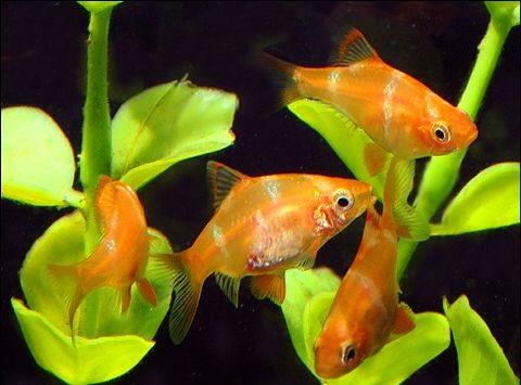 Barbus Sumatra Abobora - 2 a 4 cm