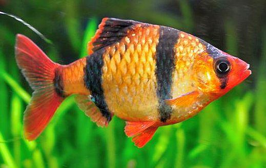 Barbus Sumatra Garrafa Vermelho - 2 a 4 cm