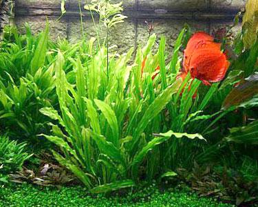 Planta Echinodorus Martii
