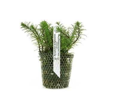 Planta Myriophyllum matogrossense - amano