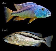 Aristochromis christyi 3 cm (NOVIDADE)