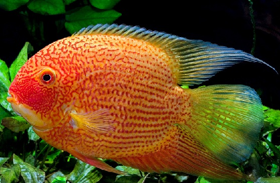 Acará Severum Red Spotted 5 a 6 cm