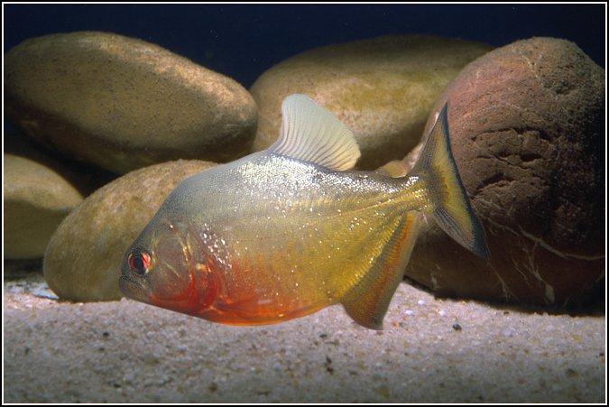 Piranha Amarela 8 cm