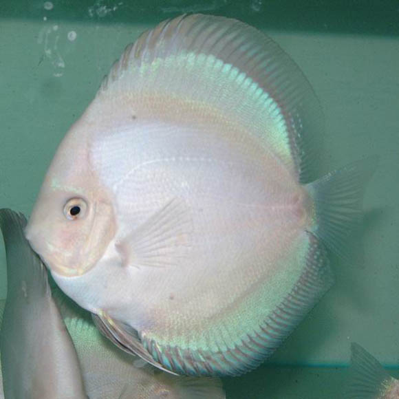 Acara Disco Blue White 5 a 6 cm