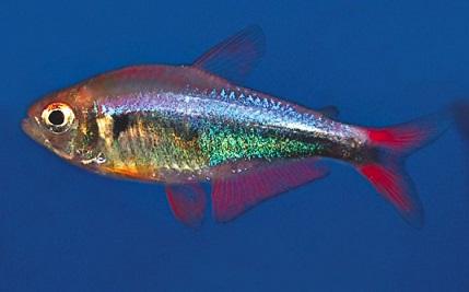 *Tetra Red Rainbow 2 a 3 cm
