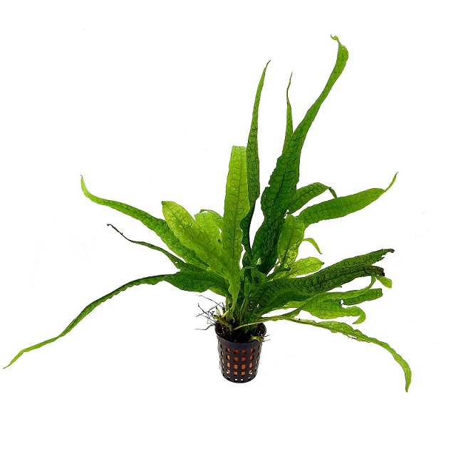 Planta Microsorum Pteropus - Philippine