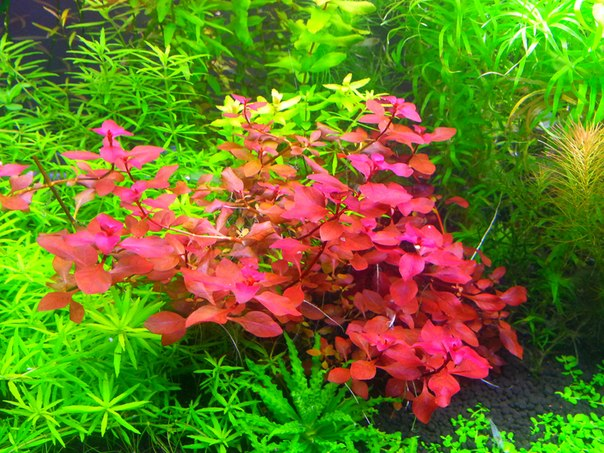 Planta Ludwigia Red