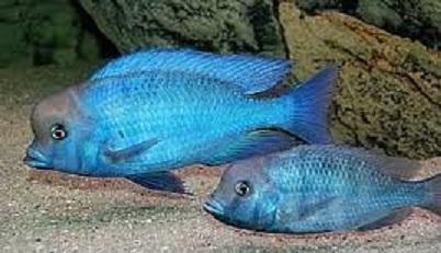 Haplochromis Moorii (Golfinho) ( MACHO ) 9 a 10 cm