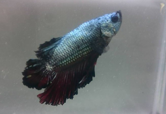 Betta Dumbo Plakat Chumbo 4 a 5 cm (NOVO) (FOTO REAL DO PEIXE A VENDA )