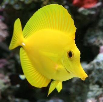Tang Yellow 5 a 6 cm