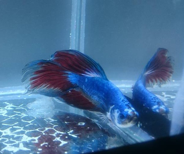 Betta Fancy 4 a 5 cm