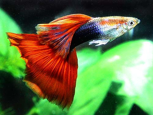 Lebiste - Guppy Neon Red ( Casal )