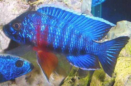 Aulonocara Stuartgranti Red Sided Peacock  5 a 6 cm (Importado - NOVIDADE)