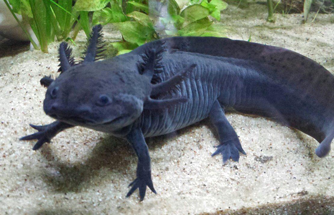 Axolote Black 04 cm !!! (NOVIDADE)