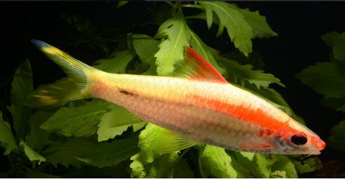 Barbus Denisoni Gold 3 a 4 cm (Novidade)