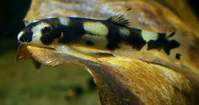 Botia Panda Doctor Fish 4 a 5 cm