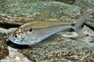 Charax Gibbosus  7 a 8 cm