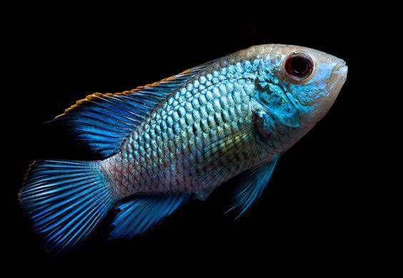 Cichlasoma Blue Terror 4 a 5 cm (NOVO)