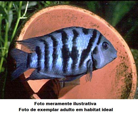 Cichlasoma Nigrofasciatum 4 cm (NOVO)