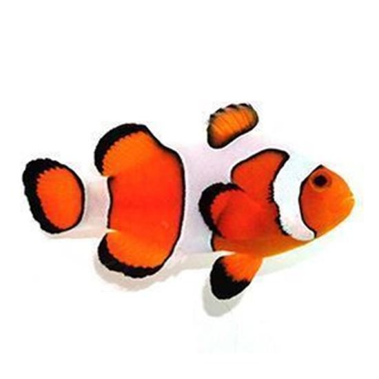 Clown Ocellaris Fancy White 2 a 3 cm (NOVIDADE)