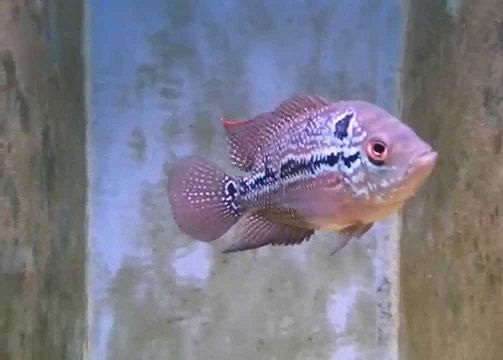 FlowerHorn Red Dragon 5 a 6 cm