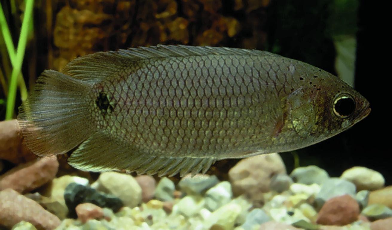 Gourami Silver Belly 5 a 6 cm