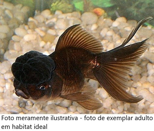 Kinguio Oranda Black 6 a 7 cm