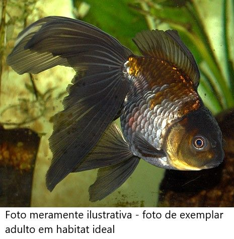 Kinguio Oranda Blue Scale 4 a 5 cm