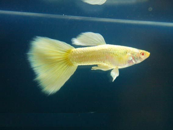 Lebiste - Guppy Full Yellow Platinum Albino (NOVIDADE)