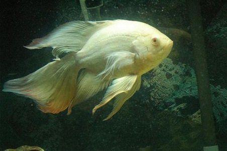 Oscar Albino Veu 4 a 5 cm