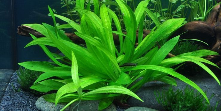 Planta Echinodorus Quadricostatus (NOVIDADE)