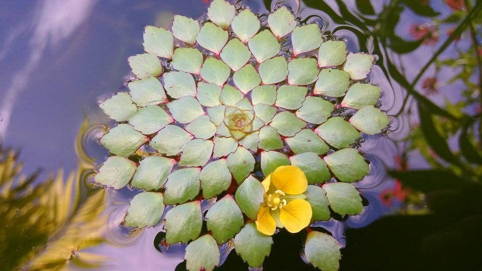 Planta Ludwigia Sedoides - 6 ramos