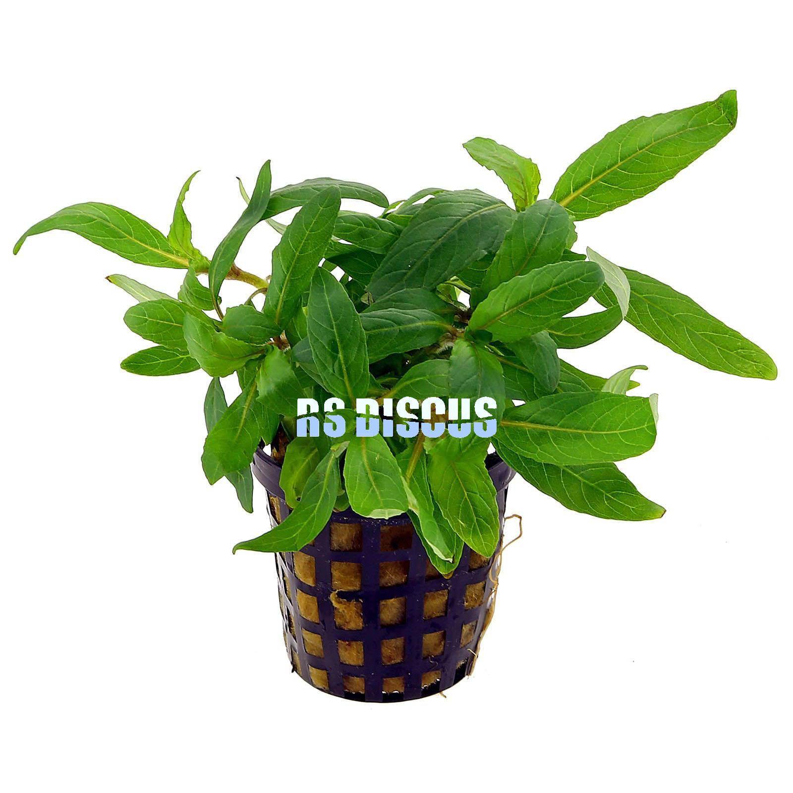 Planta Staurogyne Sp. - Bihar