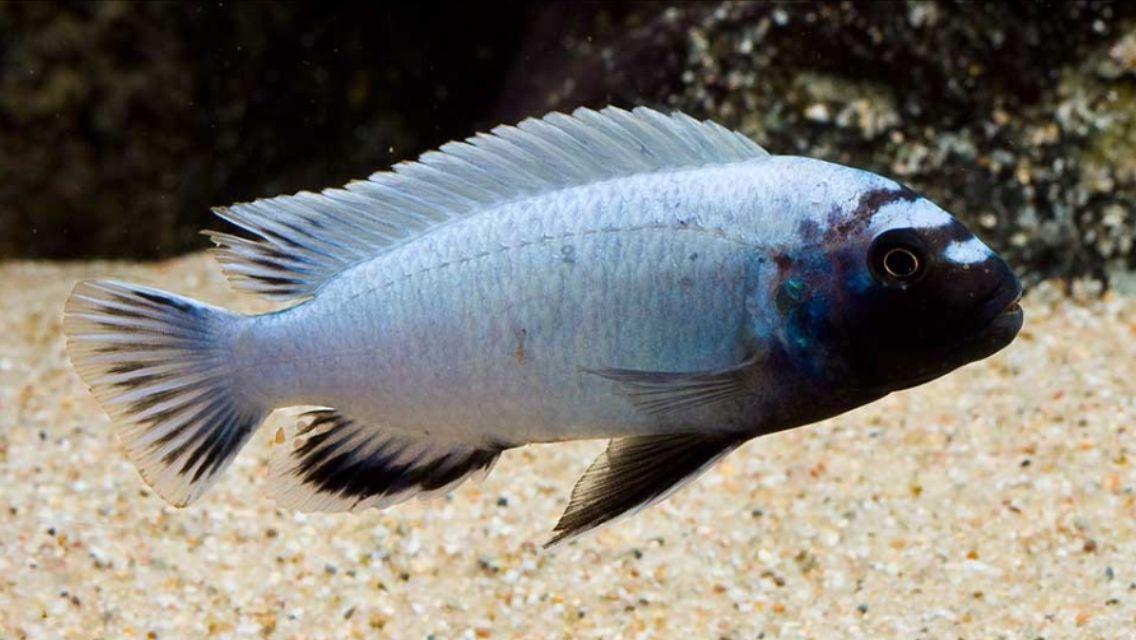 Pseudotropheus Polit 4 a 5 cm (Novidade)