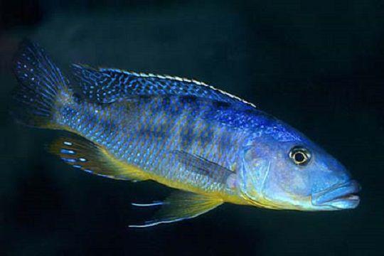 Tyrannochromis Macrostoma  5 cm (NOVIDADE)