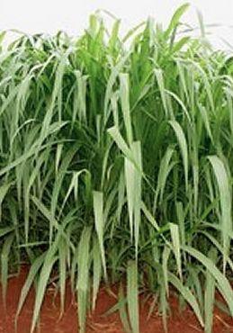 Sementes Capim Mombaça (Panicum maximum)  10 kg Gerplant
