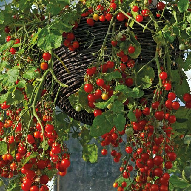 Sementes Tomate Cereja Samambaia 20Env - Topseed