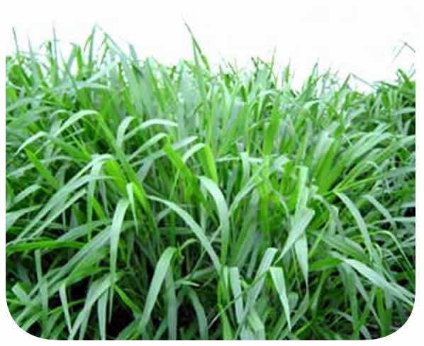 Sementes Brachiaria brizantha - Caixa com 2,0 kg - (72% VC)