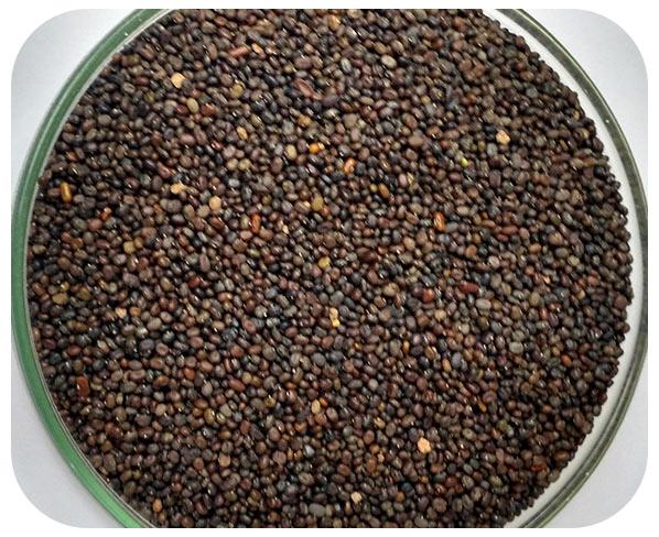 Sementes Soja Perene - Caixa com 3,0 Kg
