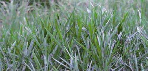 Sementes Brachiária decumbens (Sementes Revestidas) - Caixa com 2 kg - (72% VC)