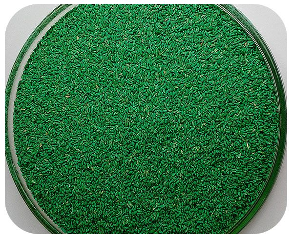 Sementes Capim Tierra Verde - Caixa com 2 kg